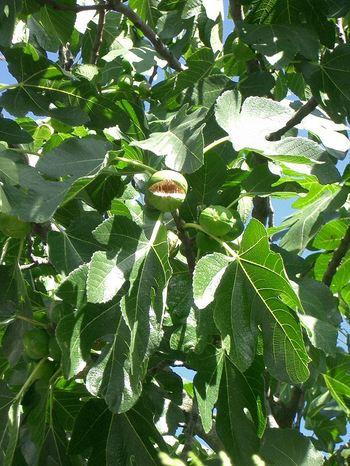 Figuier_arbre_de_la_generosite_1